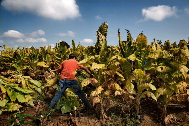 A young farmworker in the US during the tobacco harvest (photo courtesy of Human Rights Watch)