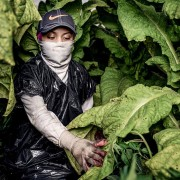 In the U.S., many teens who work in tobacco fields wear plastic garbage bags to try to avoid nicotine poisoning. [Photo courtesy Human Rights Watch]